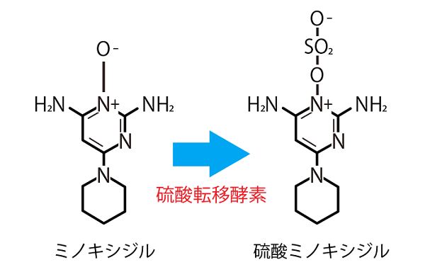 硫酸ミノキシジル